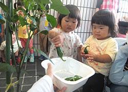 栽培した野菜の採集